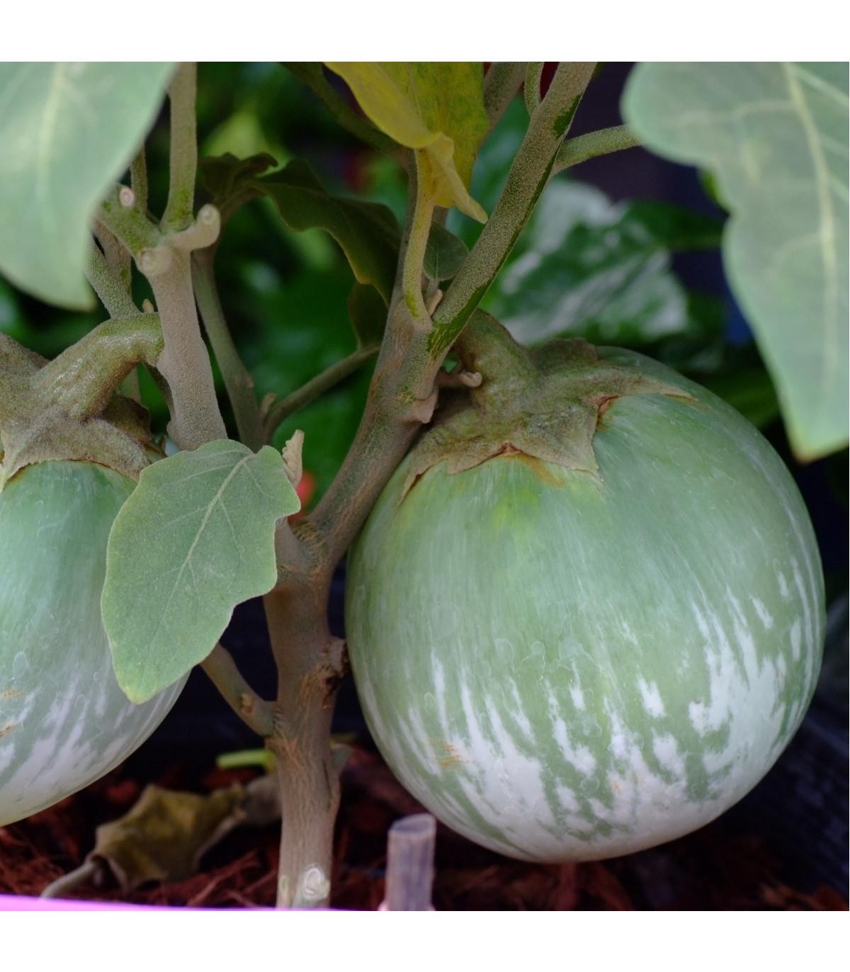 Lilek - Baklažán - Zelené jablko - semena - 6 ks