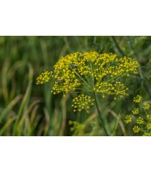 Kopr Virling - Anethum graveolens - semena - 500 ks