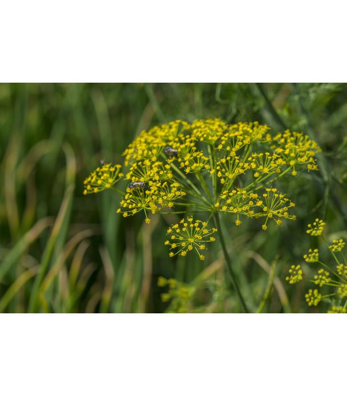 Kopr Virling - Anethum graveolens - semena - 1 gr