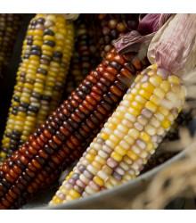 Kukuřice Amero okrasná - Zea mays - semena - 15 ks