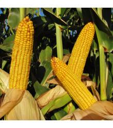 Kukuřice cukrová mořená Snowbaby - Zea Mays - semena Kukuřice - 16 ks