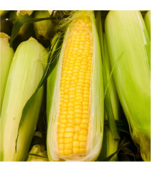 Kukuřice cukrová Golden Bantam - Zea Mays - semena - 16 ks