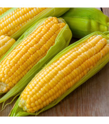 Kukuřice Andrea F1 - Zea mays - semena - 16 ks