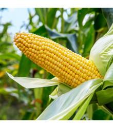 Kukuřice cukrová Ombra F1 - Zea mays - semena - 15 ks
