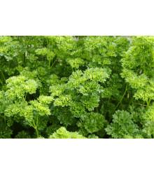 Petržel Starlett - Petroselinum crispum - semena - 500 ks