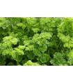 Petržel Bravour - Petroselinum crispum - semena - 1 g