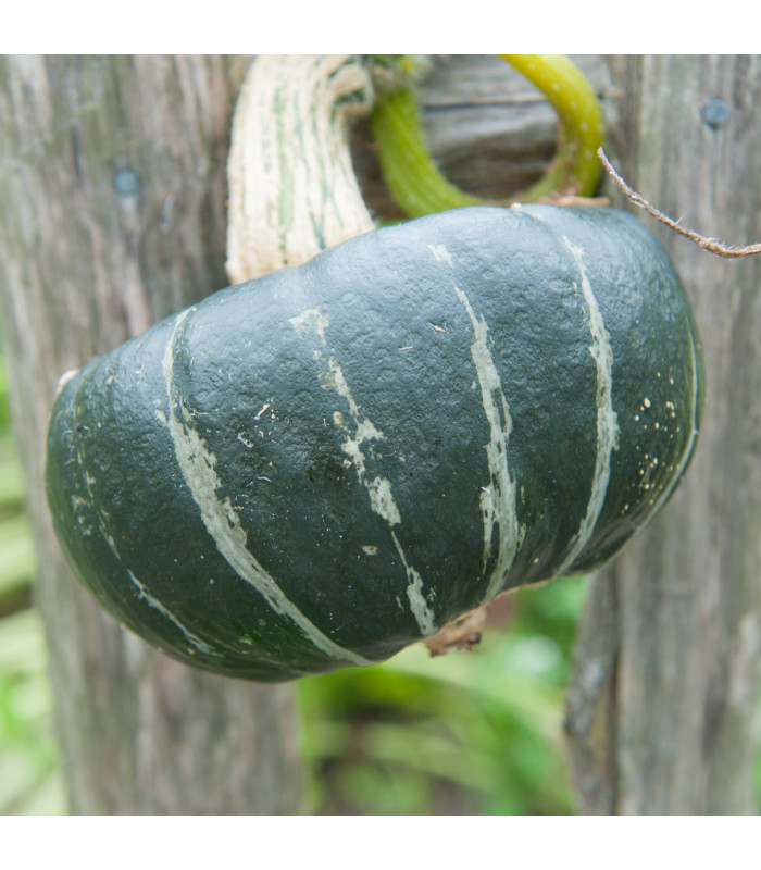 Tykev velkoplodá Buttercup Burgess - Cucurbita maxima Duchesne - semena - 5 ks
