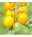 Rajče F1 Golden Currant žluté - Lycopersicon esculentum - semena - 5 ks