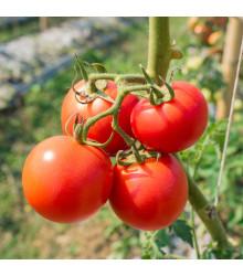 Rajče Karkulka - Lycopersicon esculentum – semena rajčat - 20 ks