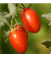 Rajče keříčkové Roma - Lycopersicon lycopersicum - semena - 0,2 gr