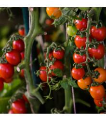 lilek rajče Tumbling Tom Red - Solanum lycopersicum Tumbling Tom Red