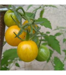 Rajče divoké rybízové Gold Rush - žluté - Solanum pimpinellifolium - semena - 6 ks