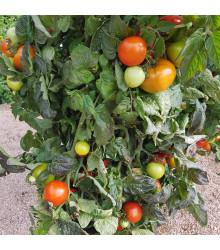 Rajče Rentita - Lycopersicon esculentum - semena rajčat - 15 ks