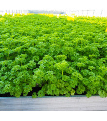Petržel Afrodite - Petroselinum crispum - semena - 350 ks