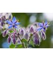 Brutnák lékařský - Borago officinalis - bio osiva - 1,5 gr
