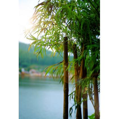 Bambus obrovský - Bambusa Arundinacea - semena - 2 ks