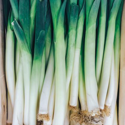 Pór zimní zelenomodrý - Allium porrum - semena - 1,5 g