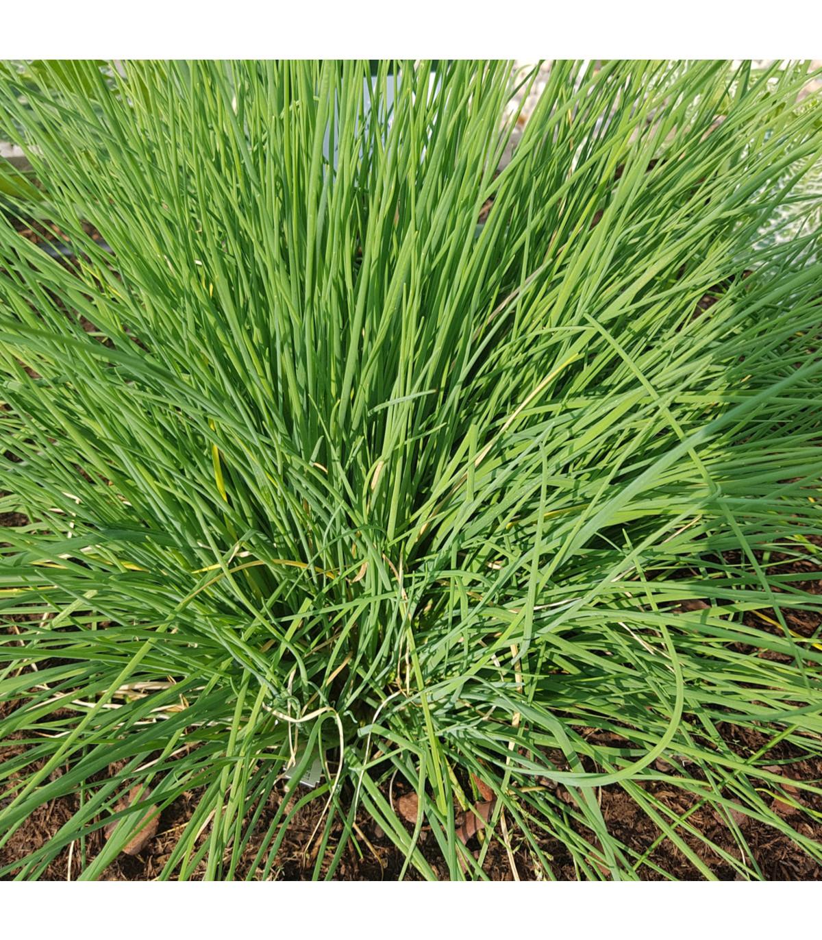 Pažitka Polyvert - Allium schoenoprasum L.- semena - 0,4 g