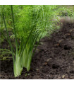 Fenykl hlíznatý De Florencia - Foeniculum vulgare - semena - 0,5 g