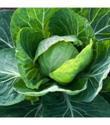 Zelí hlávkové bílé Dita - Brassica oleracea - semena - 0,8 g