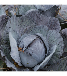 Zelí červené rané - Brassica oleracea - semena - 0,5 g