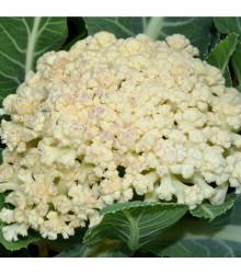 Květák pozdní Romanesco - Brassica oleracea botrytis - semena - 20 ks