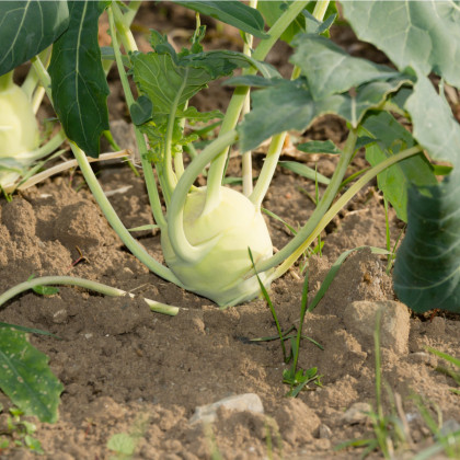 Kedluben bílý Lanro - Brassica oleracea - semena - 1 gr