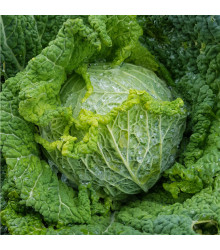 Kapusta hlávková k rychlení Raketa - Brassica oleracea var. sabauda - semena - 0,8 g