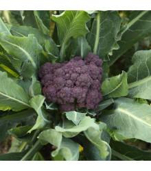Brokolice raná fialová Rudolph - Brassica oleracea - semena - 0,9 gr