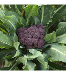 Brokolice raná fialová Rudolph - Brassica oleracea - semena - 30 ks
