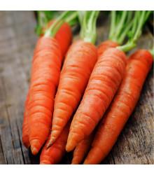 Mrkev Rotin - Daucus carota - semena - 1 g