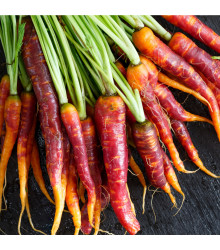 Mrkev Purple Haze - Daucus carota - semena - 70 ks