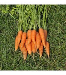 Mrkev karotka Amsterdam raná - Daucus carota - semena - 900 ks