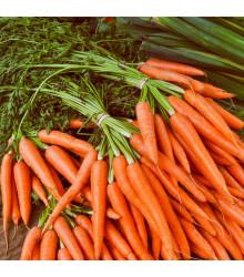 Mrkev Rothild - Daucus carota - semena - 900 ks