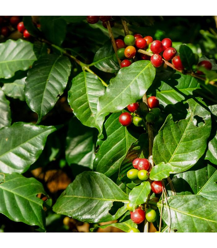 Kávovník arabský - Coffea arabica - semena - 5 ks