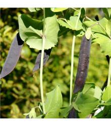 Hrách fialový Blauwschokker - Pisum sativum - semena - 25 ks