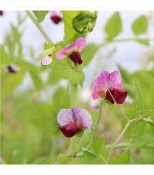 Hrách cukrový pestrobarevný - Pisum sativum - semena - 8 g