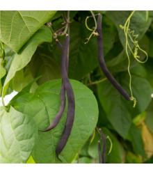 Fazol tyčkový modrý Blauhilde - Phaseolus vulgaris - semena - 20 ks