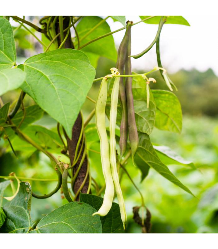 Fazol tyčkový bílý - Phaseolus vulgaris - semena - 2 gr