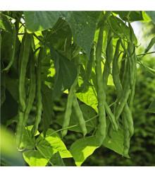Fazol tyčkový Algarve - Phaseolus vulgaris - semena - 20 ks