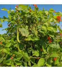 Fazol šarlatový Preis - Phaseolus coccineus - semena - 10 ks