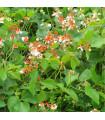 Fazol šarlatový pnoucí Hestia - Phaseolus coccineus - semena - 10 ks