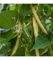 Fazol keříčkový Hildora - Phaseolus vulgaris L. - semena - 10 g