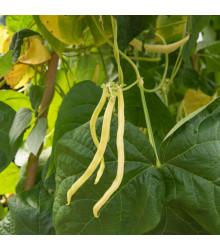 Fazol tyčkový Neckargold - Phaseolus vulgaris - semena - 15 Ks