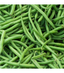 Fazol keříčkový Saxa - Phaseolus vulgaris - semena - 20 ks