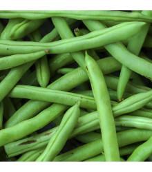 Fazol keříčkový Odeon - Phaseolus vulgaris - semena - 20 ks