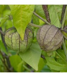 Mochyně dužnoplodá - Physalis philadelphica - semena - 5 ks