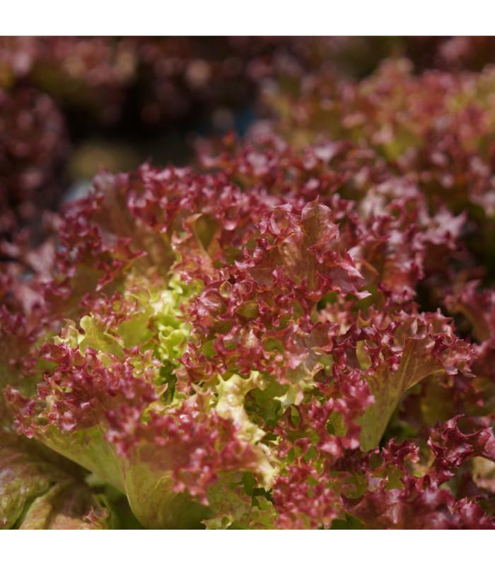 Salát listový kadeřavý Lollo Rossa - semena - 0,5 gr