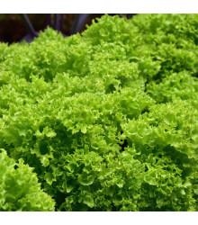 BIO Salát listový kadeřavý Lollo Bionda - Lactuca sativa - bio semena - 0,1 g
