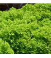Salát listový kadeřavý Lollo Bionda - Lactusa sativa - semena - 0,5 gr